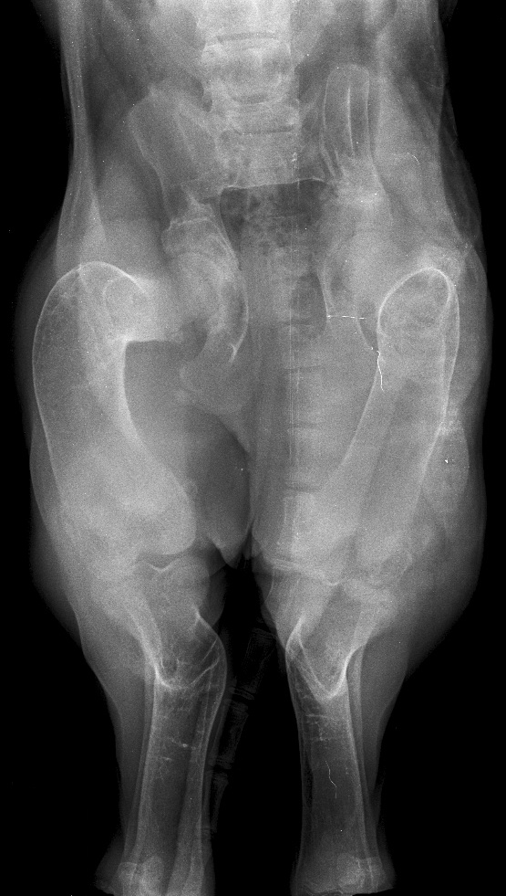 Тяжелая форма остеодисплазии у щенка