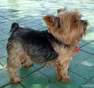 Некротизирующий менингоэнцефалит у собак
