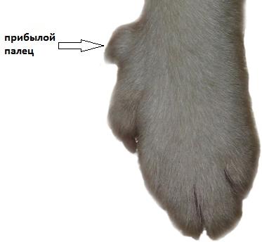 лапа собаки с прибылым пальцем