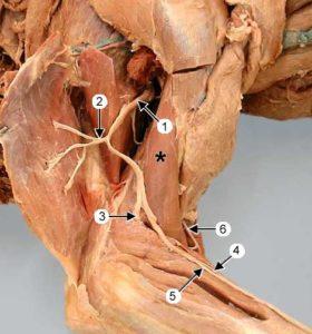 нервы передней конечности собаки