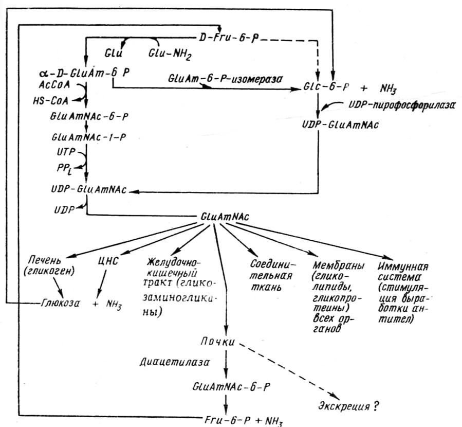 Схема синтеза и обмена глюкозамина