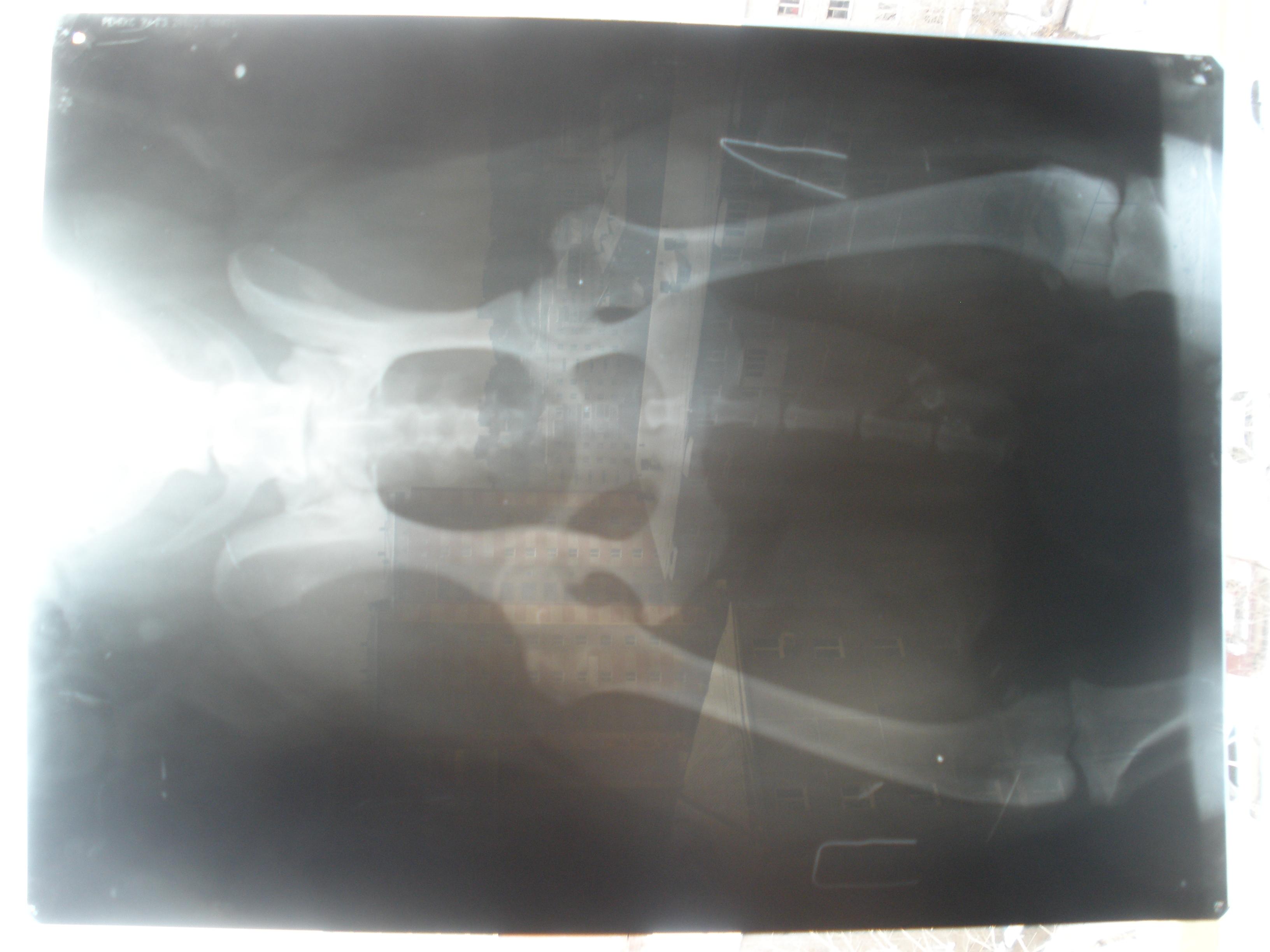 Дисплазия локтевого сустава лабрадоров фильм белые суставы